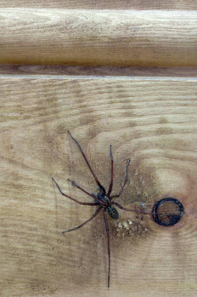 Wall Art - Photograph - House Spider by Simon Booth/science Photo Library