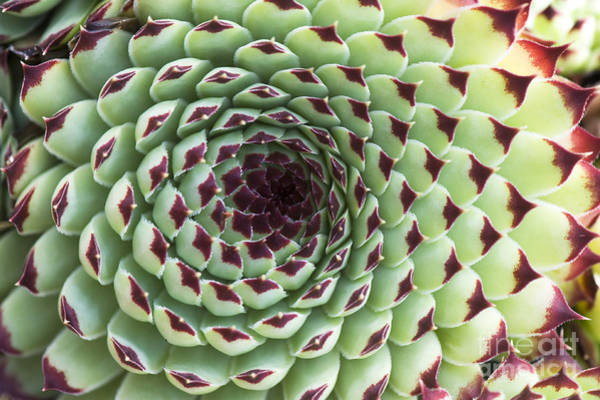 Succulent Wall Art - Photograph - Houseleek Pattern by Tim Gainey