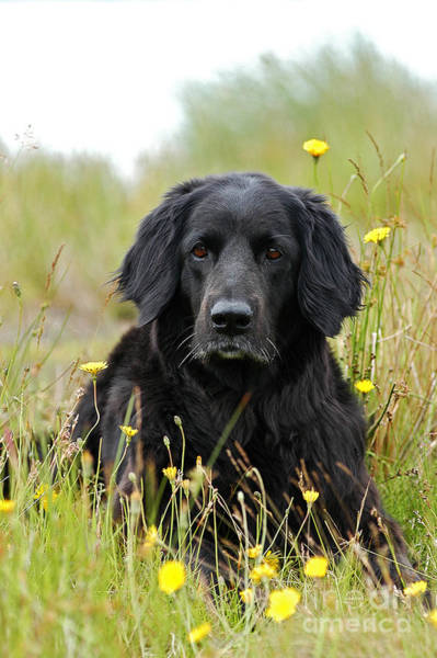 Kopf Photograph - Hovawart Dog Lying In Yellow Flowers by Dog Photos