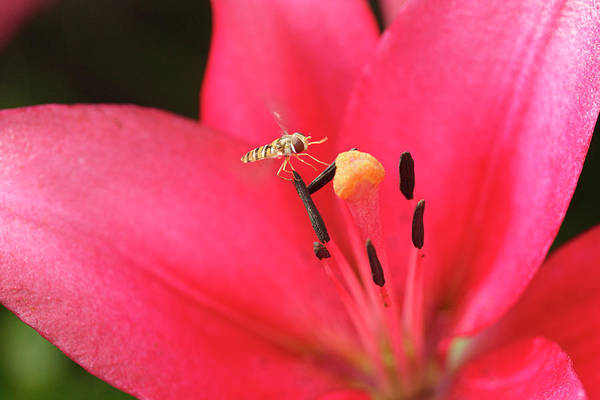 Hover Photograph - Hover Fly And Lily Flower by Dan Sams/science Photo Library