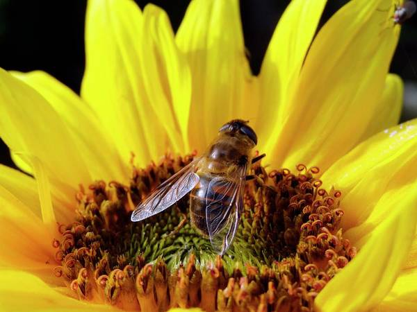 Sunflower Seeds Photograph - Hover Fly On A Sunflower (voluceila Bombylans) by Ian Gowland/science Photo Library