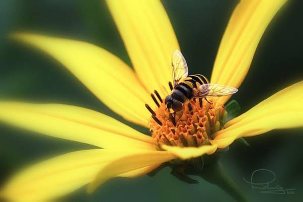 Photograph - Hover Fly On Flower by Ludwig Keck
