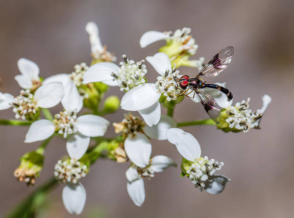 Photograph - Hover Fly On Frostweed Flowers by Steven Schwartzman