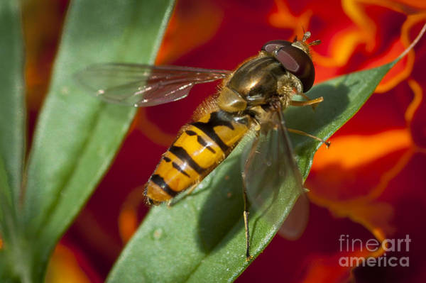 Wall Art - Photograph - Hoverfly by Donald Davis