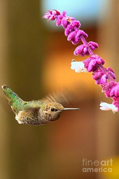 Photograph - Hovering For A Snack by Adam Jewell