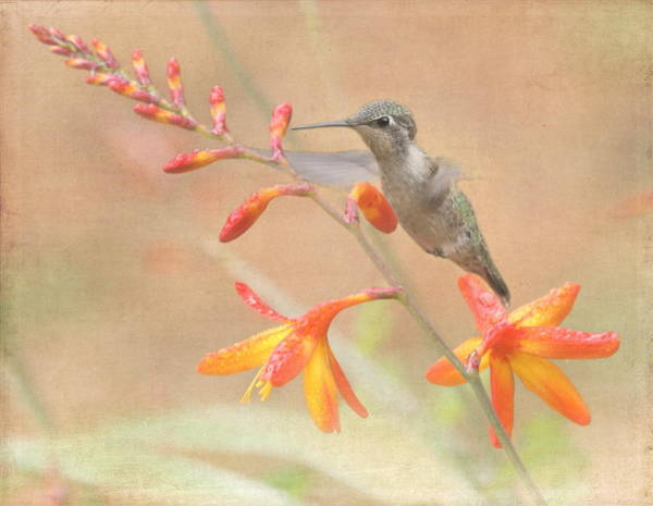 Hummingbird Wings Photograph - Hovering In The Crocosmia by Angie Vogel