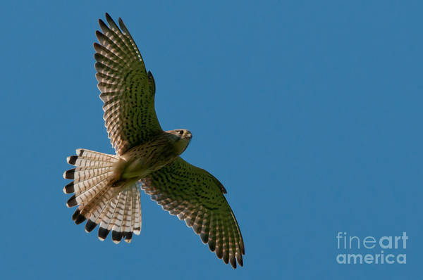 Photograph - Hovering Kestrel by Torbjorn Swenelius