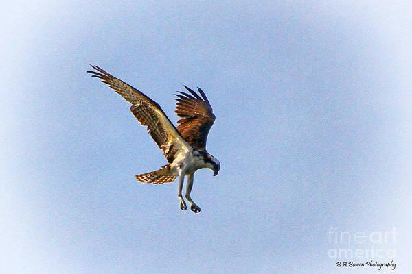 Photograph - Hovering Osprey by Barbara Bowen