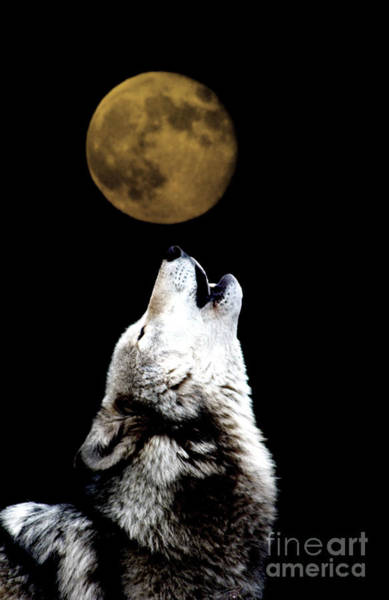 Howling Photograph - Howling At The Moon by Nick Gustafson