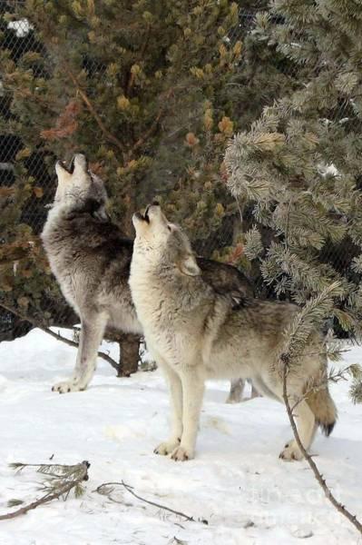 717a Howling Wolves  Art Print