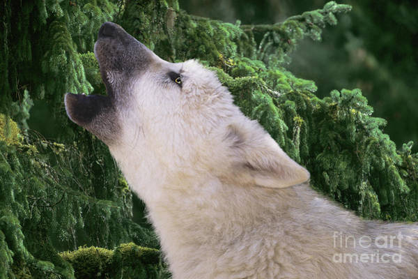 Photograph - Howlling Arctic Wolf Pup Endangered Species Wildlife Rescue by Dave Welling