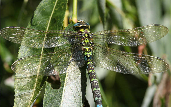 Photograph - Huge Dragon-fly In Detail. by Dreamland Media
