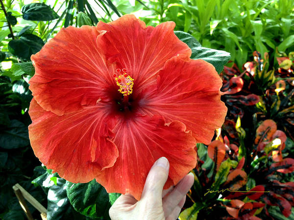 Photograph - Huge Hibiscus by Jean Pacheco Ravinski