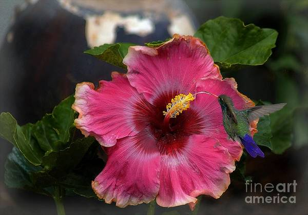 Photograph - Huge Mexican Desire Hibiscus With Hummingbird by John  Kolenberg