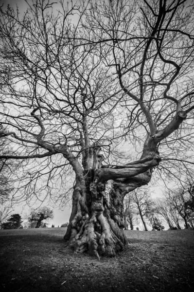 Strange Land Wall Art - Photograph - Huge Tree by Svetlana Sewell