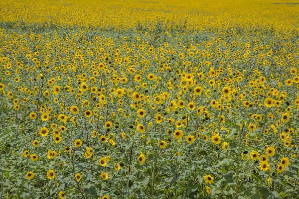 Photograph - Huge Wild Sunflower Colony by Steven Schwartzman