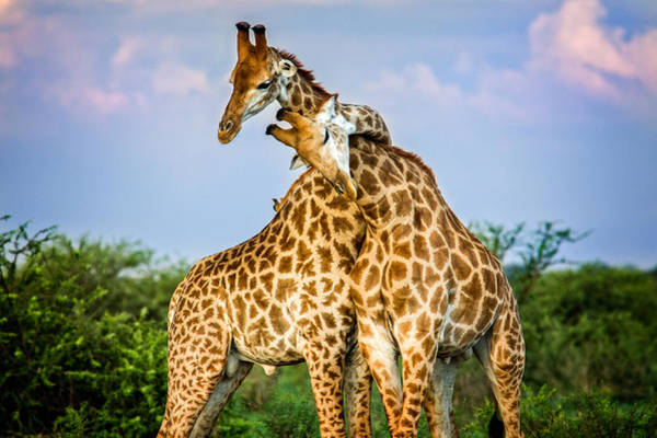 Partner Photograph - Hugging Giraffes by Tim Booth