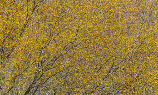 Photograph - Huisache Tree Densely Flowering by Steven Schwartzman