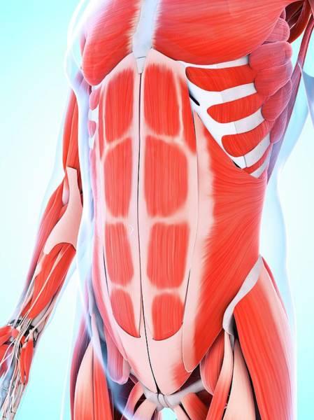 Biological Illustration Wall Art - Photograph - Human Abdominal Muscular System by Sebastian Kaulitzki