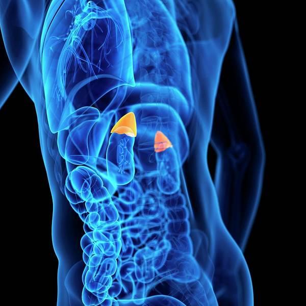 Adrenal Gland Photograph - Human Adrenal Glands by Sebastian Kaulitzki