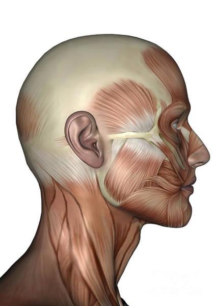 Digital Art - Human Anatomy Of Male Facial Muscles by Elena Duvernay
