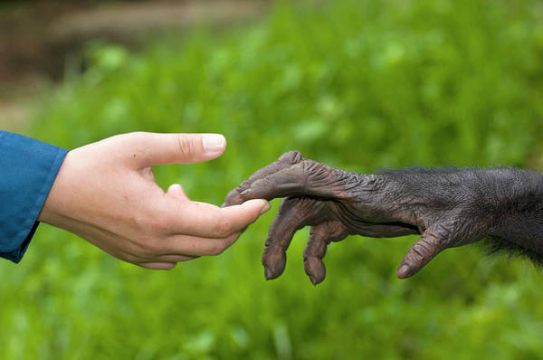 Wall Art - Photograph - Human And Bonobo Ape Hands by Tony Camacho/science Photo Library