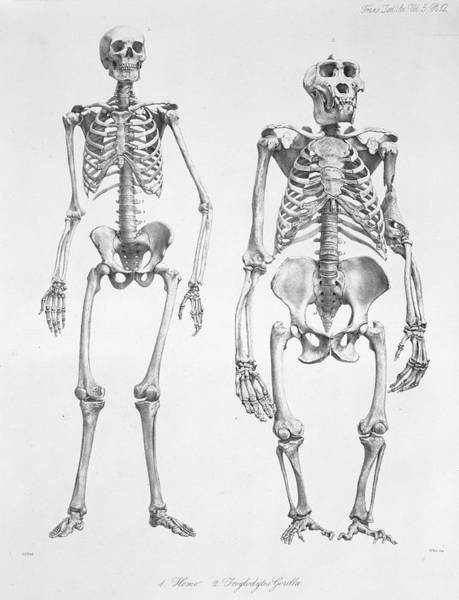 Comparative Anatomy Wall Art - Photograph - Human And Gorilla Skeletons by Natural History Museum, London/science Photo Library