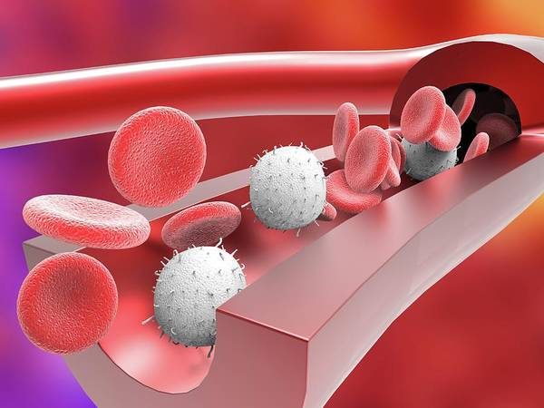 Artery Wall Art - Photograph - Human Artery With Blood Cells by Alfred Pasieka