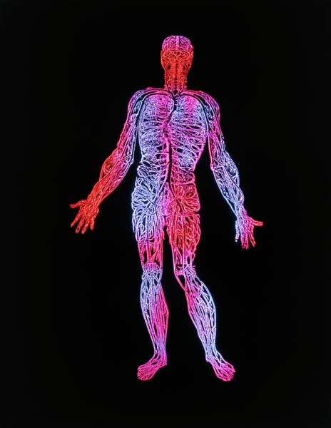 De Humani Corporis Fabrica Photograph - Human Blood System by Mehau Kulyk/science Photo Library