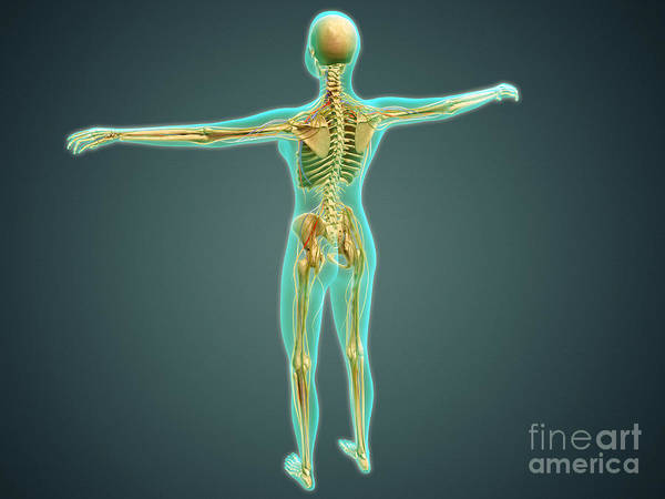 Lumbar Plexus Digital Art - Human Body Showing Skeletal System by Stocktrek Images
