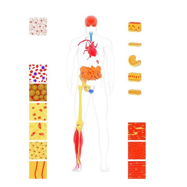 Human Body Tissue Types Art Print