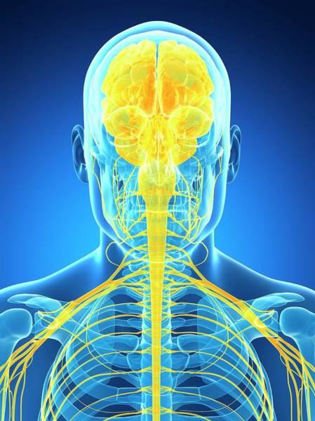 Spinal Cord Photograph - Human Brain And Nervous System by Sebastian Kaulitzki