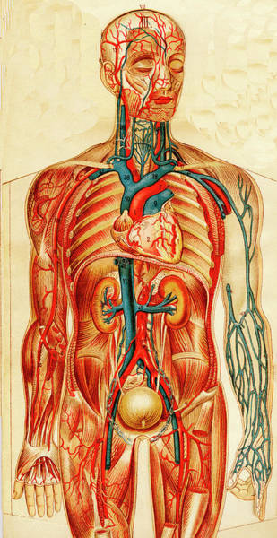 Wall Art - Photograph - Human Circulatory System by Collection Abecasis/science Photo Library