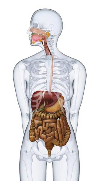 Anatomical Model Wall Art - Photograph - Human Digestive Anatomy by Dorling Kindersley/uig