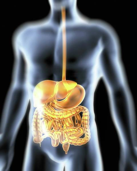 Digestive Systems Photograph - Human Digestive System by Pasieka