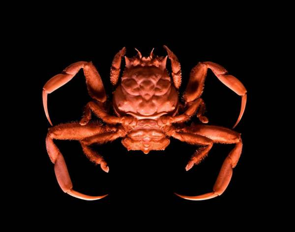 Chela Wall Art - Photograph - Human-faced Crab by Science Photo Library