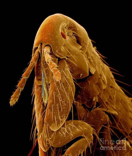 Photograph - Human Flea by Eye of Science