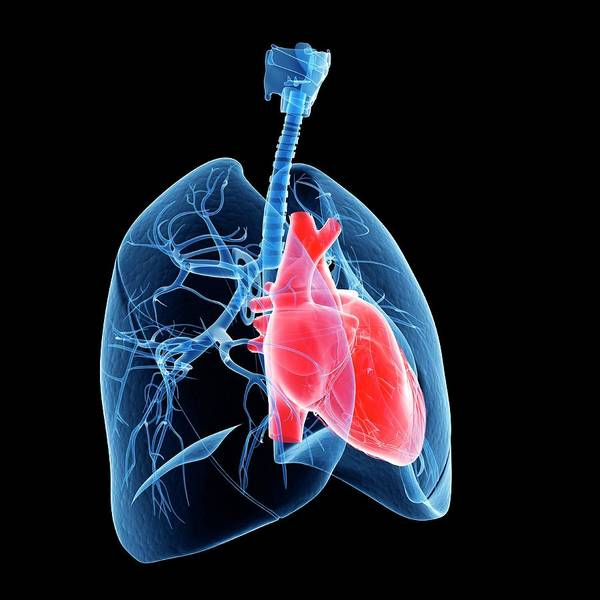 Bronchus Photograph - Human Heart And Lungs by Sebastian Kaulitzki