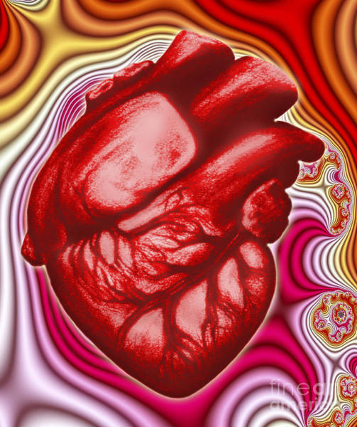 Photograph - Human Heart by Dennis Potokar
