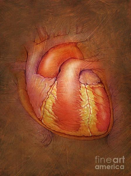 Photograph - Human Heart by Jim Dowdalls