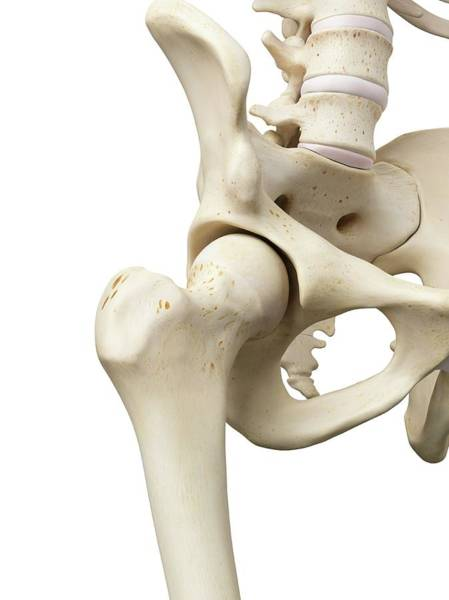 Lumbar Vertebra Photograph - Human Hip Joint by Sciepro