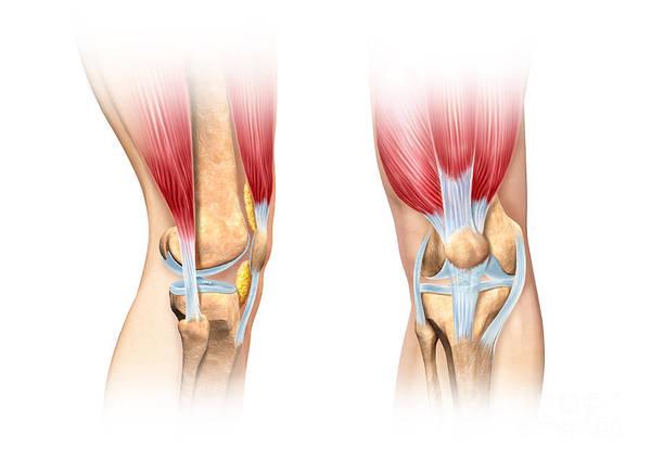 Digital Art - Human Knee Cutaway Illustration by Leonello Calvetti