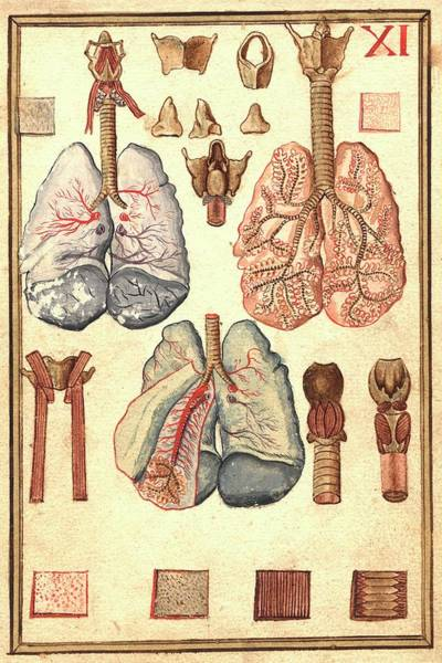 Pipe Organ Wall Art - Photograph - Human Lung Anatomy by National Library Of Medicine
