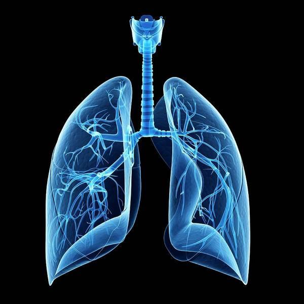 Bronchus Photograph - Human Lungs by Sebastian Kaulitzki