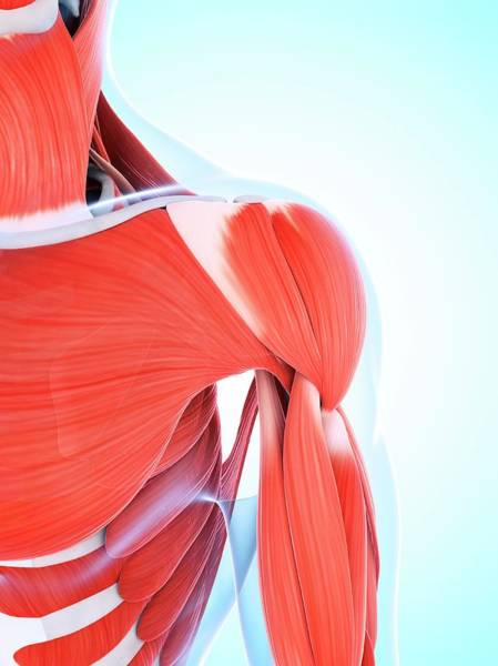 Wall Art - Photograph - Human Muscular System Of The Shoulder by Sebastian Kaulitzki