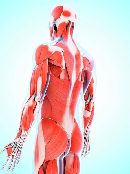 Three Dimensional Wall Art - Photograph - Human Muscular System by Sebastian Kaulitzki