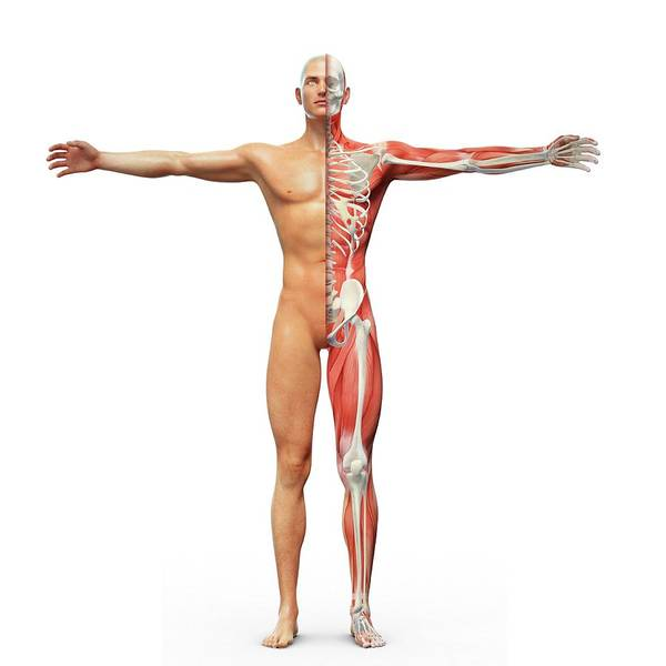 Musculoskeletal System Wall Art - Photograph - Human Musculoskeletal System by Andrzej Wojcicki