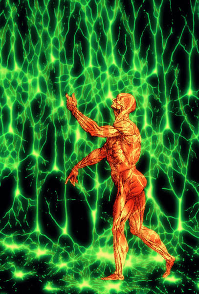 Nerve Cell Photograph - Human Nerve Tissue by Alfred Pasieka/science Photo Library