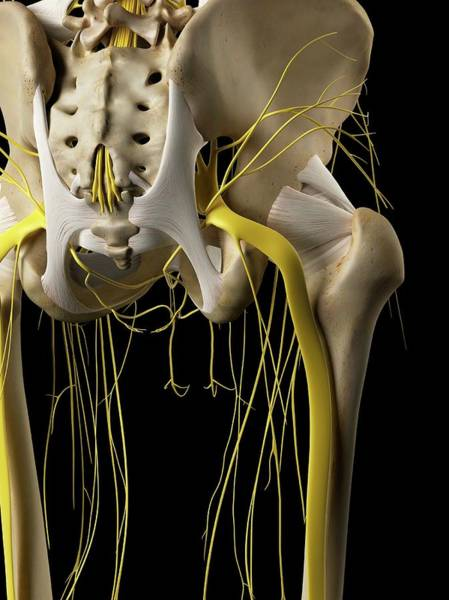 Nervous System Photograph - Human Nervous System by Sciepro