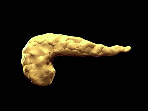 Abdominal Photograph - Human Pancreas by Harvinder Singh